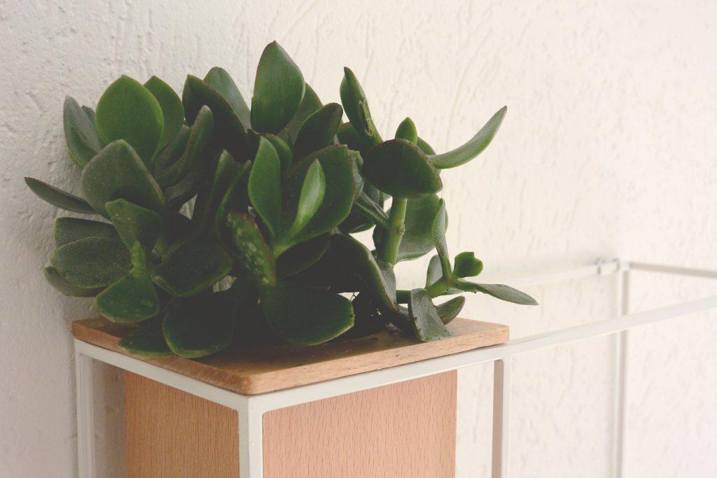 Plante succulente sur étagère Umbra