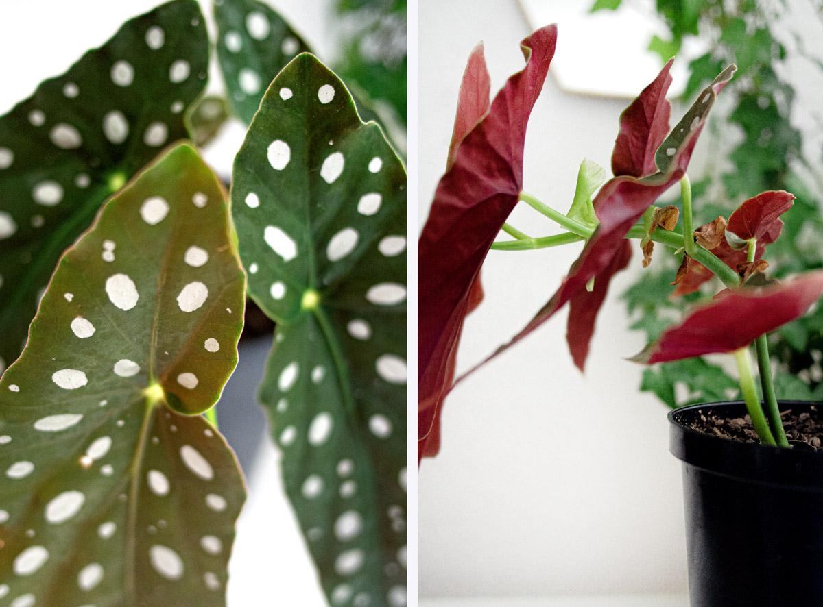 Bégonia maculata ou Tamaya